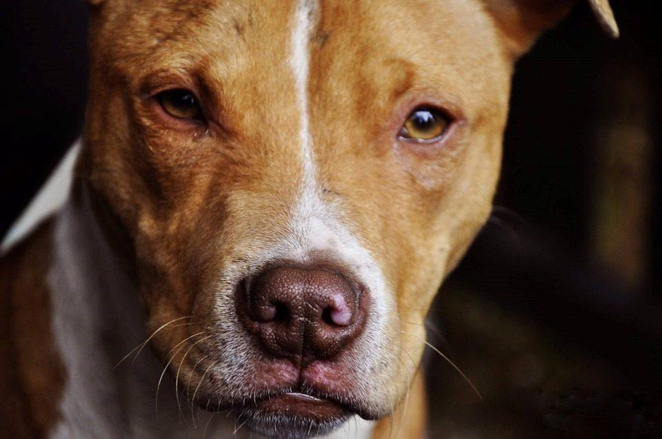 pit bull dog bite incident california